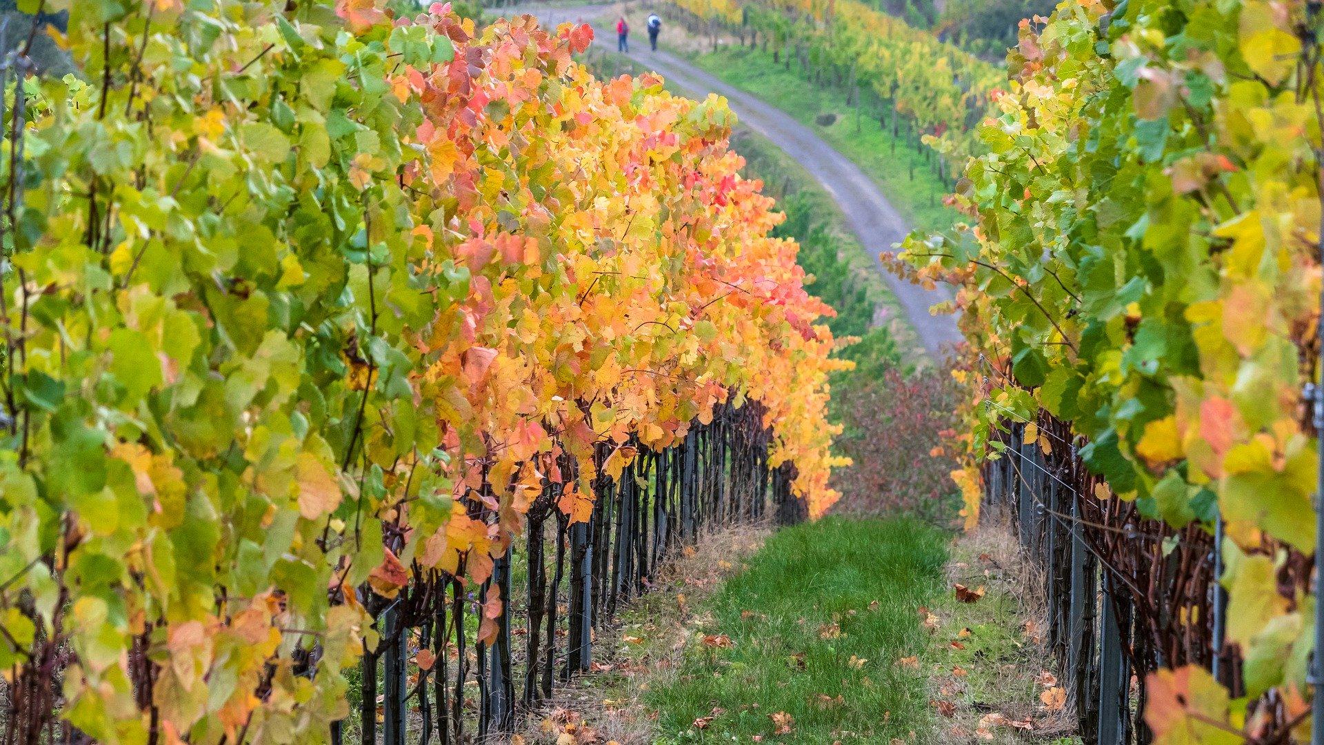 Rotweinwanderweg – auf den Spuren des Weines